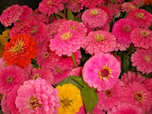 Zinnias at Pike Place Market